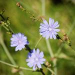 Hellblaue Blüten der Wegwarte