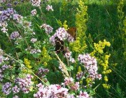 Schmetterlinge am wilden Majoran