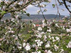 Blühender Apfelbaum in Aschaffenburg, Foto: Alexander Vorbeck
