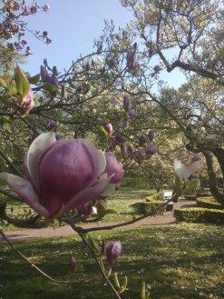 Magnolienblüte im Park Schöntal