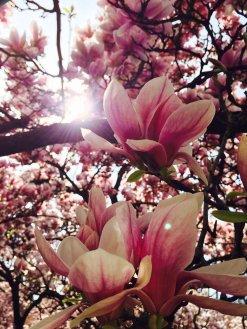 Magnolienblüte im Schöntal